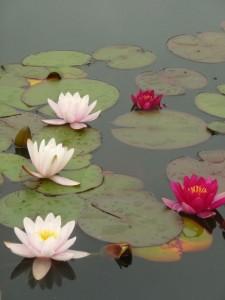 lotus-white & pink-bodnant
